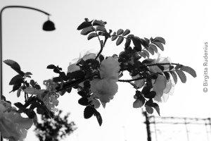 bw_20130620_rose