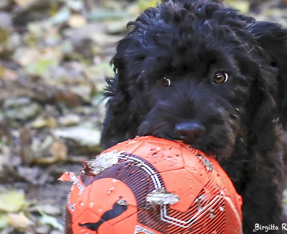 Scott - Portuguese Water Dog